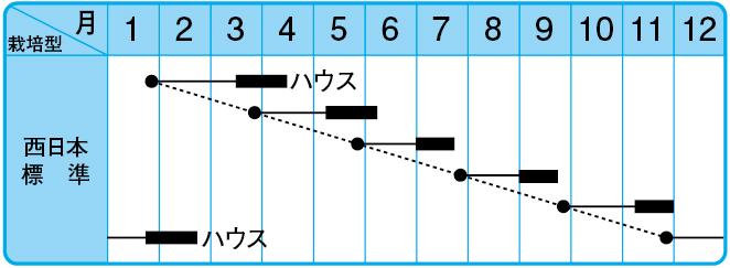 だるま大根(改良系)の栽培型